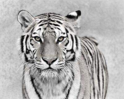 Fototapeta Tygrys amurski (Panthera tigris altaica)