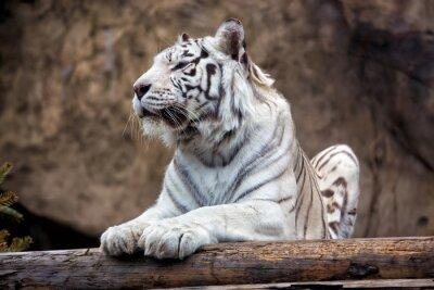 Fototapeta Tygrys bengalski - rzadki podgatunek, jest uwzględnione w Czerwonej Liście IUCN