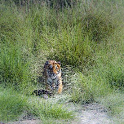 Fototapeta Tygrys bengalski w Bardia National Park, Nepal
