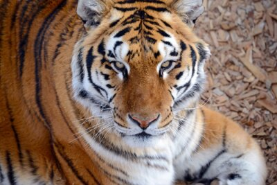 Fototapeta Tygrys, gdy powszechne w wielu obszarach Azji, Rosji i Bliskiego Wschodu, stała się gatunkiem zagrożonym, zagrożonych we wszystkich jego rodzimym zasięgu tylko niewielki ułamek swojej pierwotnej popul