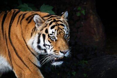 Fototapeta Tygrys syberyjski