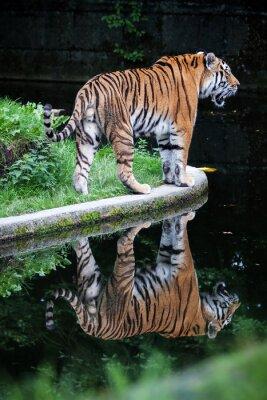 Fototapeta Tygrys syberyjski, Odbicie, Symetria
