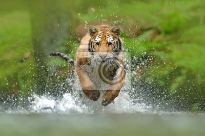 Fototapeta Tygrys syberyjski, Panthera tigris altaica, widok z niskim kątem bezpośredni widok twarzy, biegnący w wodzie bezpośrednio w kamerze, rozpryskując wodę. Atakować drapieżnika w akcji. Tygrys w tajskim ś