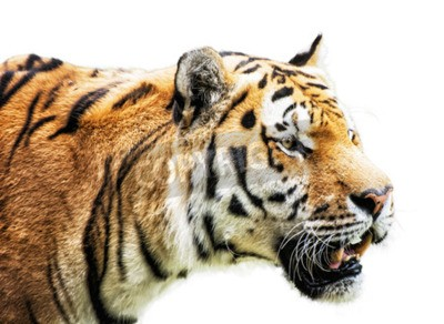 Fototapeta Tygrys syberyjski - Panthera tigris altaica - znany również jako Amur tygrysa, to podgatunek tygrysa zamieszkujące głównie Sikhote regionu górskiego Alin. Portret zwierząt na białym tle.