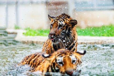 Fototapeta Tygrys twarzy