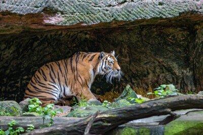 Fototapeta Tygrys w jaskini