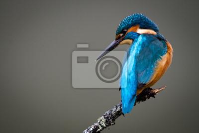 Fototapeta UK Dziki Kingfisher