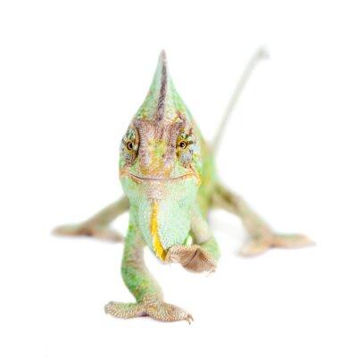 Fototapeta Ukrytych kameleona, Kameleon jemeński, mężczyzna