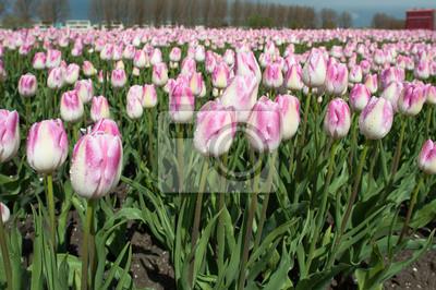 Uprawa cebulek kwiatowych na wiosnę