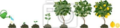 Fototapeta Uprawa roślin z nasion drzewa cytrynowego. Cykl życia roślin