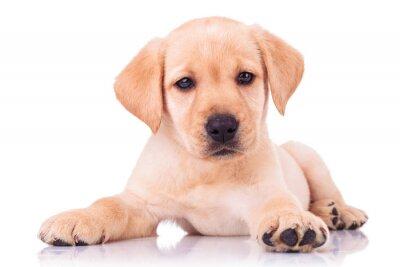Fototapeta urocza siedzibą szczeniak labrador retriever