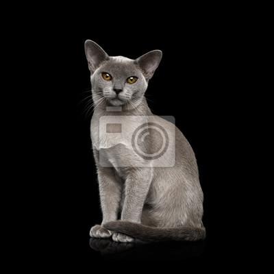 Fototapeta Uroczy Błękitny Birmański Kot Z Niezwykłymi Oczami Siedzi