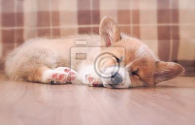 Fototapeta uroczy domowy szczeniak corgi śpi spokojnie na drewnianej podłodze w domu wyciągając małe łapy