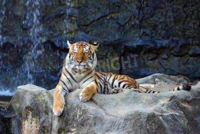 Fototapeta Uśmiech tygrysa