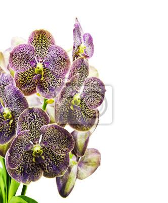 Vanda Orchidea