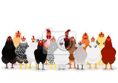Fototapeta various chicken group