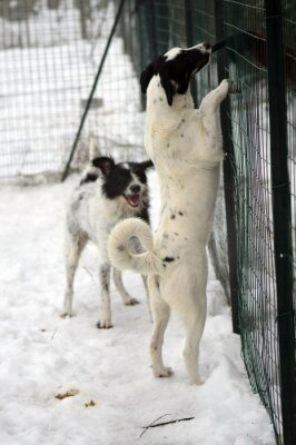 Fototapeta Vertical shot of puppy Braque d'Auvergne playing in the in an animal shelter cage