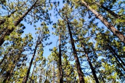 Fototapeta Very High Pine Wood Forest