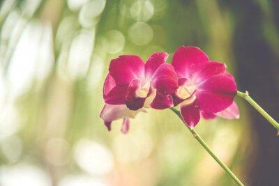 Fototapeta Violet blossom orchid in garden