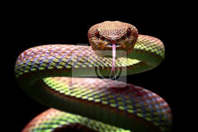 Fototapeta Viper snake closeup face ready to attack
