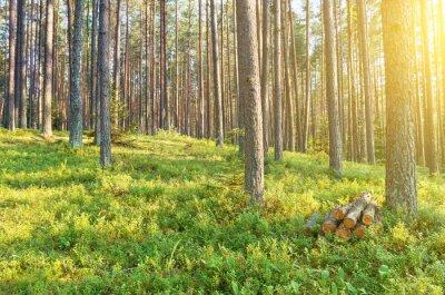 Fototapeta W pięknym lasu iglastego.