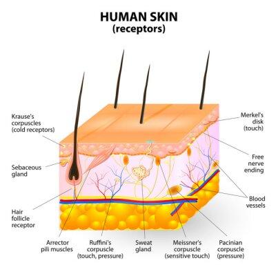 Fototapeta warstwa skóry ludzkiej Przekrój vector