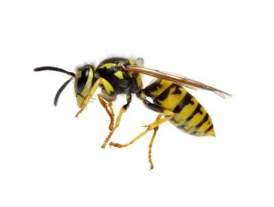 wasp on white