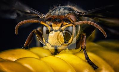 Fototapeta Wasp pszczoła głowa makro zbliżenie