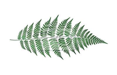 Watercolor fern isolated on white background. Botanical illustration.
