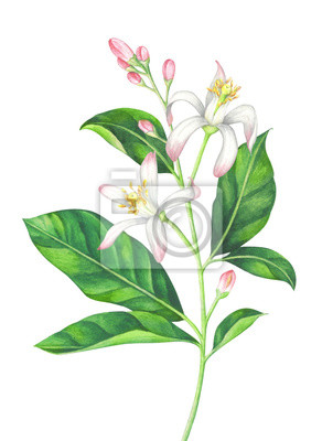 Watercolor lemon branch with blossom on white background