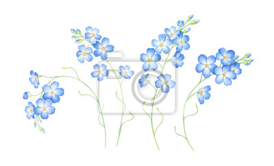 Watercolor set of forget me not flowers isolated on white background.