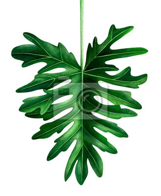 Watercolor tropical leaf isolated on white. Hand drawn Botanical illustration.