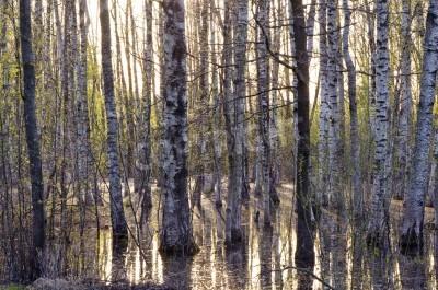 Fototapeta wczesną wiosną drzewa brzozowego lasu wieczorny krajobraz i stopić wody