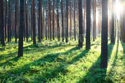 Fototapeta Wcześnie rano ze wschodem słońca w lesie sosnowym