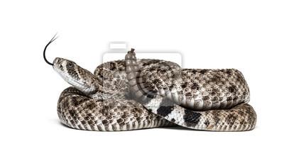 Fototapeta western diamondback rattlesnake or Texas diamond-back in front of white