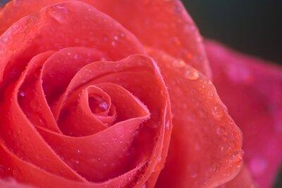 Fototapeta Wet Rose