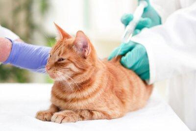 Fototapeta Weterynarz dając insuliny do kota