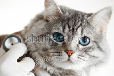 Fototapeta Weterynarz przy weterynarz kliniki egzamininuje ślicznego popielatego kota z niebieskimi oczami ze stetoskopem. Pojęcie medycyny, zwierząt domowych, zwierząt i osób.