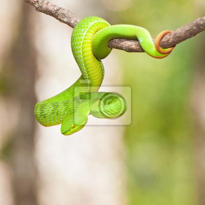 Węże Ekiiwhagahmg węże zielony w lasach Tajlandii