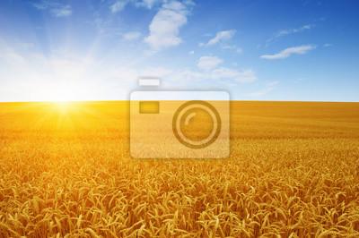 Wheat field and sun