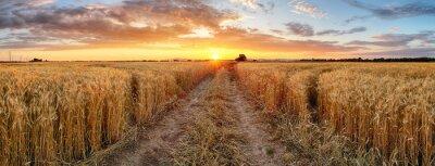 Fototapeta Wheat field at sunset, panorama