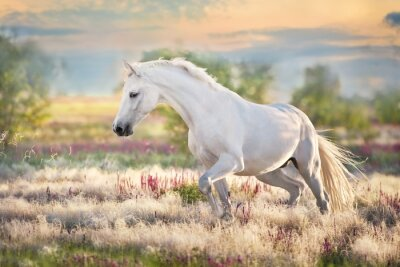 Fototapeta White beautiful horse free run in stipa grass