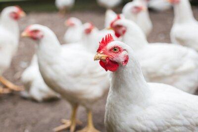 Fototapeta White broiler chicken