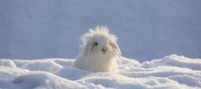 Fototapeta white funny fluffy rabbit in the snow