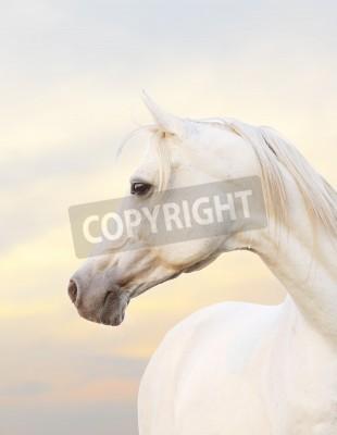 Fototapeta white horse