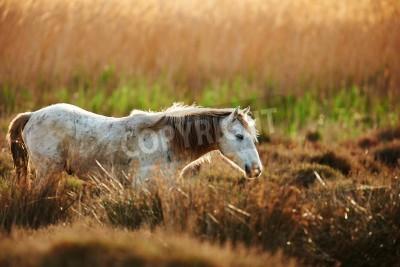 Fototapeta White horse of Camargue  backlight