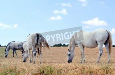 Fototapeta White horses grazing in the meadow in summer time