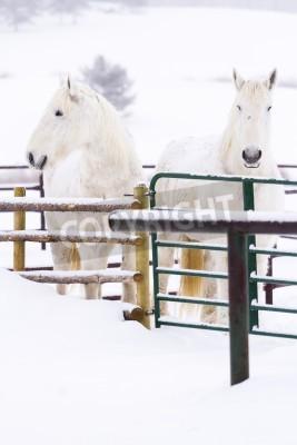 Fototapeta White horses in snow on the farm in Colorado.