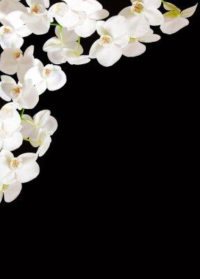 Fototapeta White  Orchid Branch.
