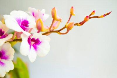 Fototapeta White Orchid kwitnienie